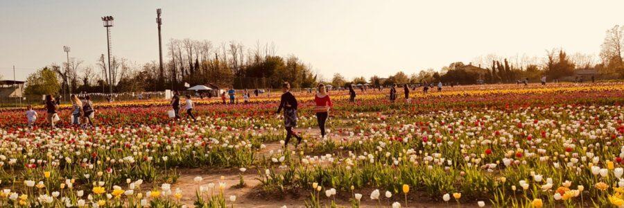 Tulipani-Italiani a Cornaredo